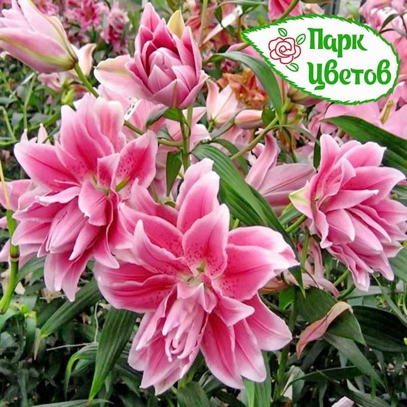 Комнатные цветы семейство бромелиевых фото